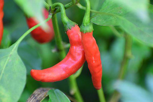 Chili, Plant, Nature, Food, Bloom, Garden, Spring