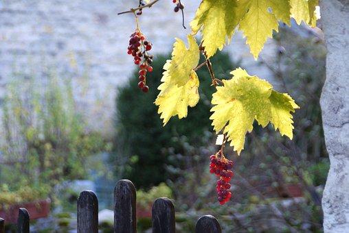 Vine, Vintage, Wine, Grape, Autumn, Vineyard, Plants
