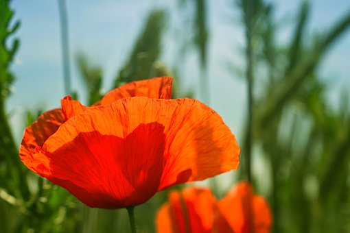 Poppy, Field, Light, Shimmer, Transparent, Green