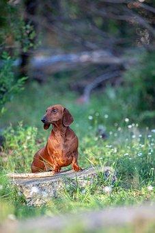 Dachshund, Dog, Puppy, Animal, Portrait, Watch