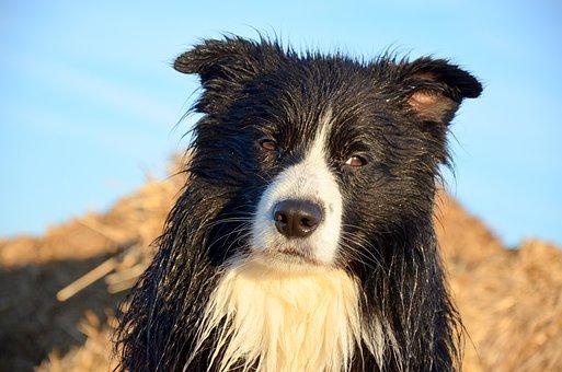 Dogs, Border Collie, Pet, Purebred Dog