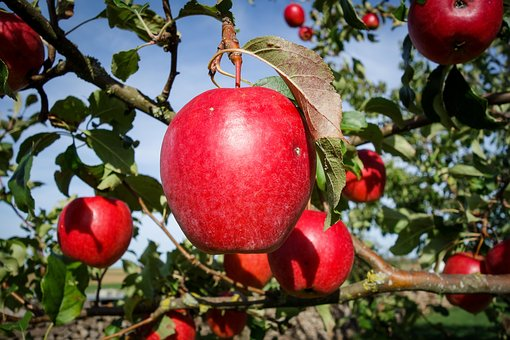 Apple, Red, Bright, Apple Tree, Fruit, Healthy, Fresh