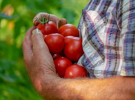Tomatoes, Fruits, Red, Ripe, Juicy, Tasty, Plant, Bio