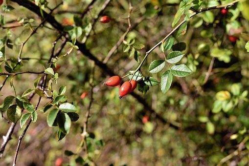 Rose Hip, Bush, Fruit, Nature, Autumn, Red, Wild Rose