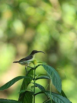 Sunbird, Bird, Avian, Small, Female, Standing, Purple