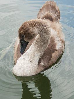 Animal Children, Swan, Water, Water Bird, Plumage