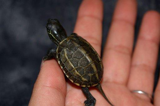 Turtle, Animal, Aquatic, Páncèl, Chinese, Kètèllzű