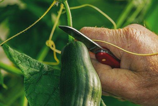 Cucumber, Harvest, Food, Green, Bio, Vegan, Raw Food