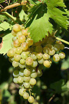 Grape, Hell, Vine, Wine, Grapevine, Vines Stock, Fruit