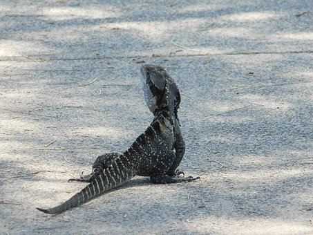 Dragon, Water Dragon, Reptile, Lizard, Nature, Wildlife