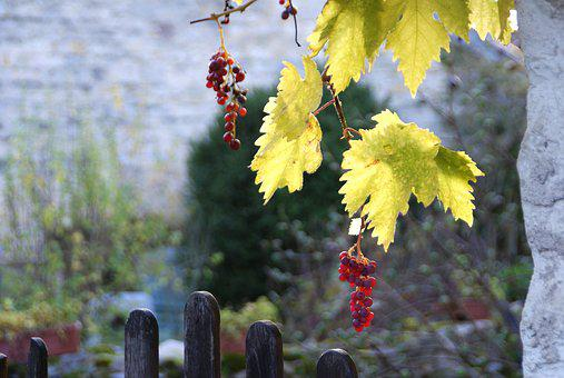 Vine, Vintage, Wine, Grape, Autumn, Vineyard, Plants