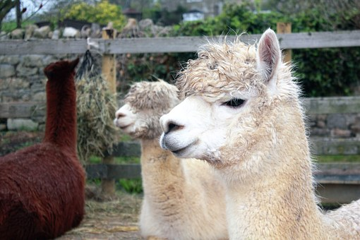 Animals, Llama, Mammal, Nature, Alpaca, Farm, Wildlife