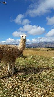 Alpaca, Peru, Llama, Wool, Andes, Animal, America