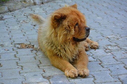 Chow Chow, Tibet Lion, Dog, Lion, Look, Animal, Cute