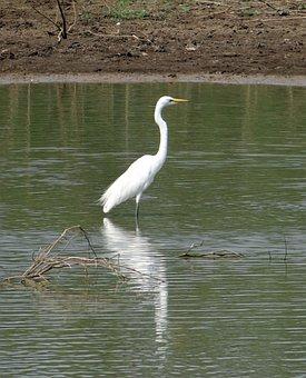 Great Egret, Ardea Alba, Egret, Bird, Wader, Wading
