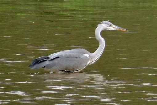 Grey Heron, Ardea Cinerea, Heron, Wader, Bird, Ardeidae
