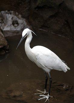 Little Egret, Bird, Wader, Fauna, Animal