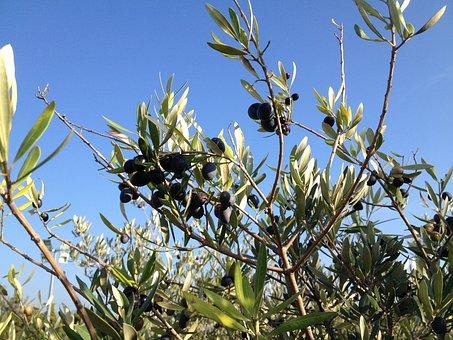 Olive Branch, Black, Provence
