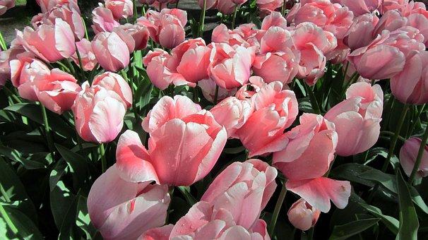 Tulip, Tulips, Bulbs, Netherlands, Bulb, Pink, Spring