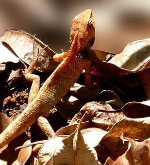 Lizard, Reptile, Animal, Scale, Claw, Back Comb, Exot