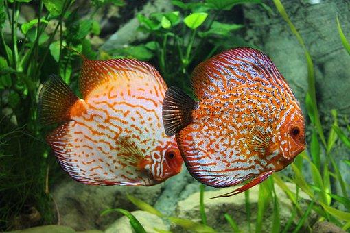 Fish, Discus, Aquarium, Ornamental Fish, Perch, Exotic