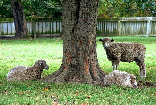 Sheep, Ewe, Livestock, Mammals, Flock, Sitting, Tree