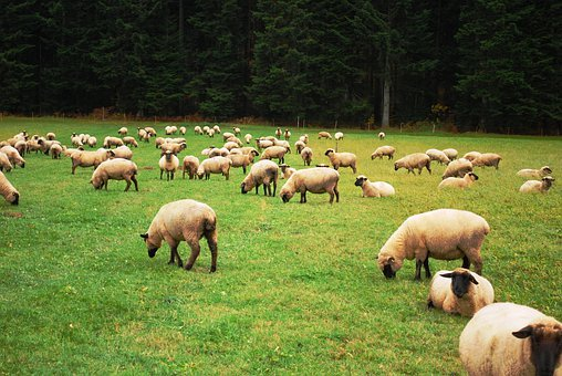 Sheep, Herd, Lamb, Farm, Flock, Pasture, Agriculture