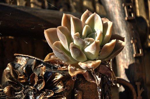 Succulent, Flower, Hardy, Garden, Ornamental