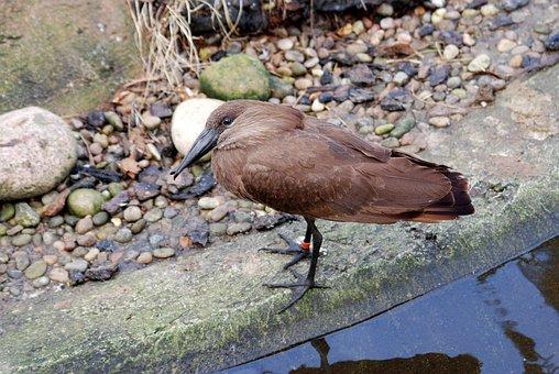 Hamerkop, Scopus Umbretta, Hammerhead Stork, Wader