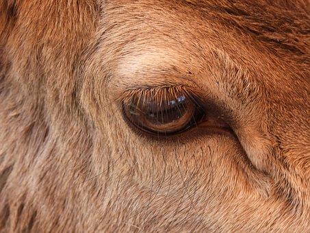 Eye, Llama, Animal, Fur, Alpaca, Nature, Head, Mammal