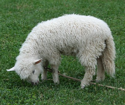 Cotswold Sheep, Lamb, Pet, Wool, Fleece, Livestock