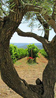 Wine, Provence, Olive Tree, South Of France, Luberon
