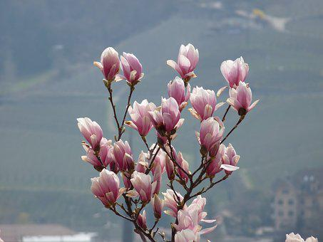 Flower, Magnolia, Spring, Bush, Magnolia Tree