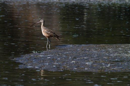 Sandpiper, Marsh Bird, Bird, Water, Marsh, Wildlife