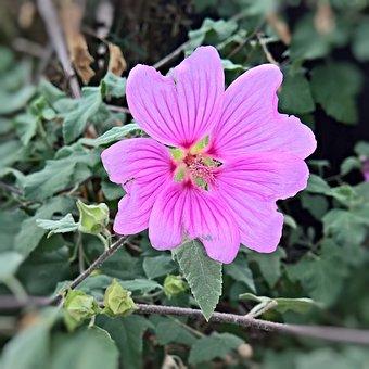 Flower, Garden Hibiscus, Plant, Marshmallow