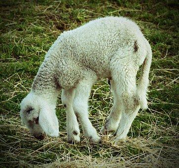 Lamb, Animal, Ill, Weak, Needy, Sad, Misery, Matt, Limp