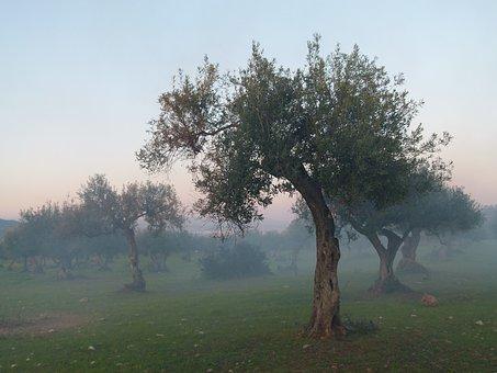 Olive Tree, Fog, Mood
