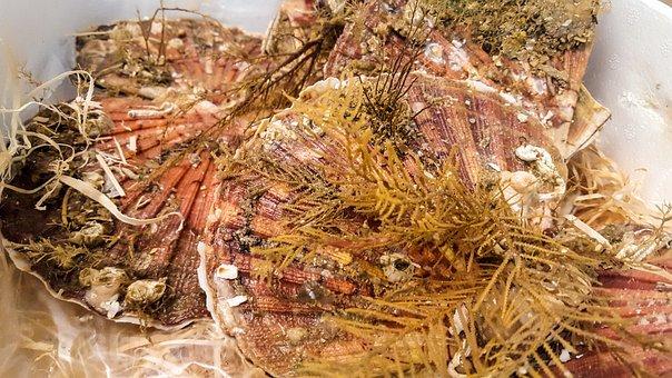 Sea scallops, Seaweed, Mussels, Gourmet Feast, Food
