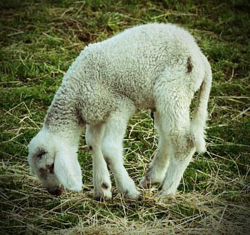 Lamb, Animal, Ill, Weak, Needy, Sad, Misery, Matt, Limp