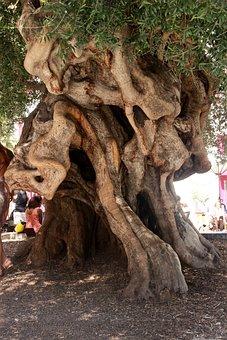 Olivier, Olive Tree, Tribe, Plant, Olea Europaea