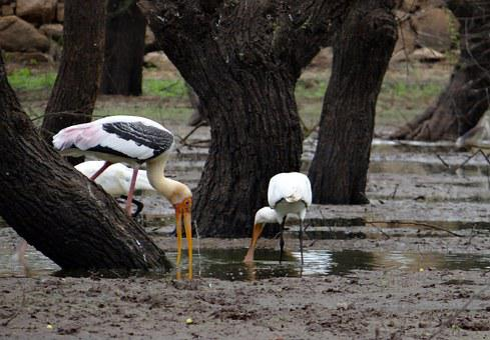 Painted Stork, Stork, Eurasian Spoonbill, Spoonbill