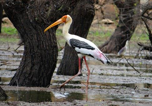 Painted Stork, Stork, Bird, Wader, Wildlife, Nature
