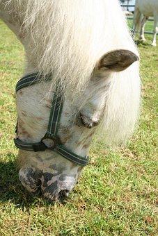 Pony, White, Ride, Graze, Pasture, Sweet, Mane, Cute