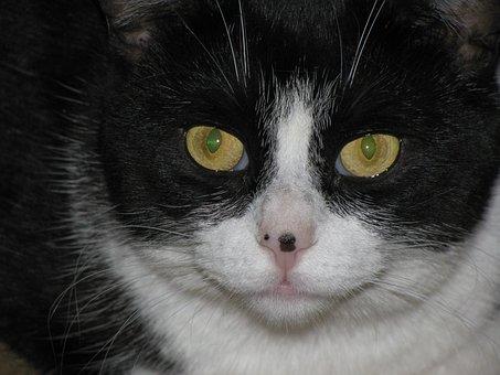 Cat, Glare, Animal, Pet, Feline, Eyes, Stare, Kitty