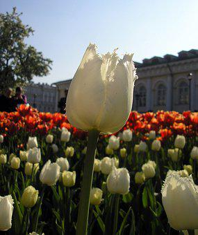 Tulip, Macro, City, Spring Flowers, Spring, Petal