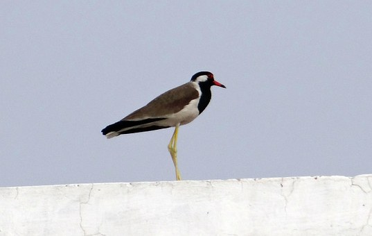 Red-wattled Lapwing, Vanellus Indicus, Lapwing, Plover