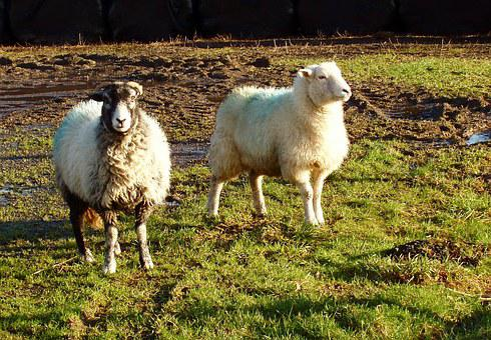 Sheep, Ram, Sunset, Nature, Animal, Mammal, Wildlife