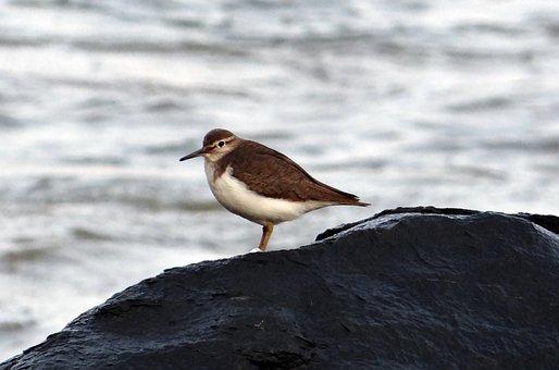 Common Sandpiper, Bird, Actitis Hypoleucos, Sandpiper