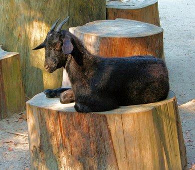 Goat, Sleepy, Resting, Animal, Pet, Livestock, Farm