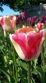 Tulip, Tulpenbluete, Spring, Colorful, Flamed, Close